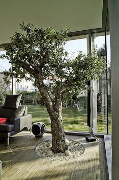 Tropical plants interior greening orangery wintergarden for Growing olive trees indoors