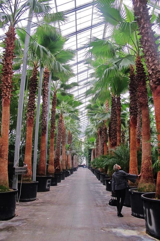 tropische pflanzen palmen aklimatisieren im glashaus - washingtoniapalme kaufen