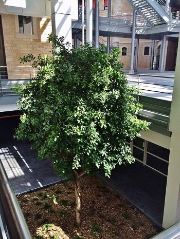 ficus nitida tree interior greening university lyon france