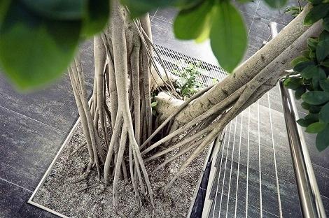 interior_planting_ficus_microcarpa_bonsai_stairway_plant