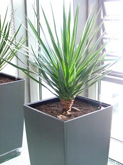 office_greening_draceana_drago_anthracite_pot_clinic