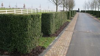 buxus_sempervirens_hedge_buy_online