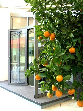 orange_tree_buy_online_exepition