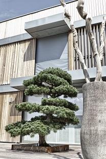pinus_penthapyhlla_buy_online_bonsai_tree_garde