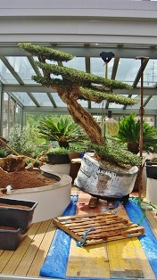 conservatory/greening_conservatory_wintergarden_interior_olea_horizontalis_macrobonsai