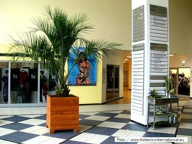 Butia capitata Palm plants fashion store buy online