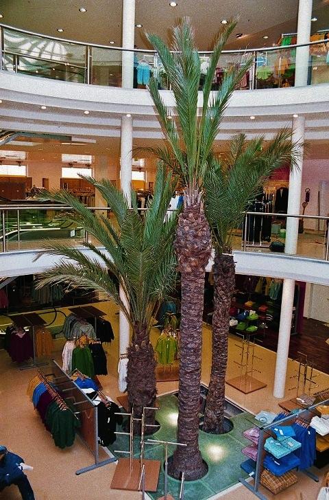Phoenix palms fashion store planting indoor