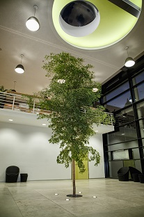 interior_planting_in-ground_entrance_hall_bucida_buceras_tree