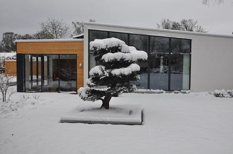 Pinus_parviflora_bonsai_japones_compra-on-line