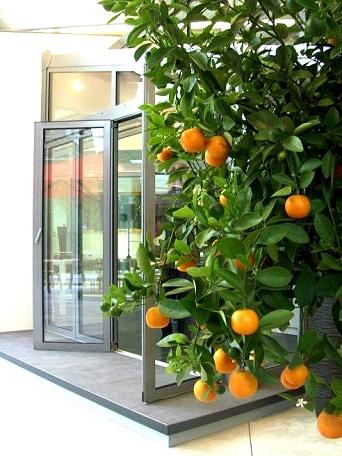 naranjos-aclimatado_para_interior-comprar-on-line