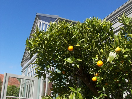 naranjo-plantar-orangeria-invernadero-compra-on-line