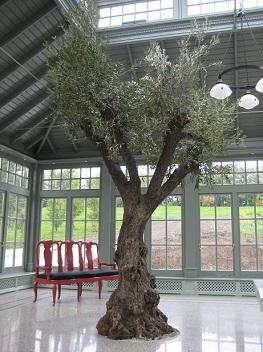 olivo-plantar-suelo-orangeria-invernadero-aclimatado-interior.