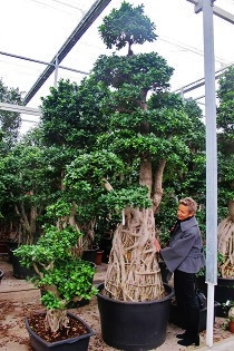 ficus-microcarpa-bonsai-planta-interior-comprar-on-line