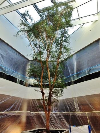 Bucida buceras baum kaufen shopping mall einkaufszentrum Luxembourg