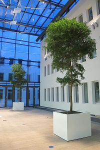 Greening of Hall with big trees and planters - Bucida buceras