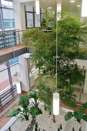 Bucidabuceras Baum in Atrium Lichthof Muenchen gepflanzt