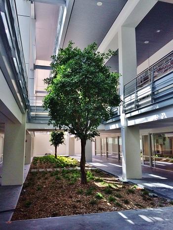 Begruenung Universität mit Tropenbaum Ficus im Lichthof, Atrium oder Innenhof