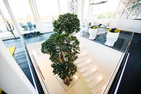 ficus-microcarpa-bonsai-atrium-lichthof-innenhof-bayern