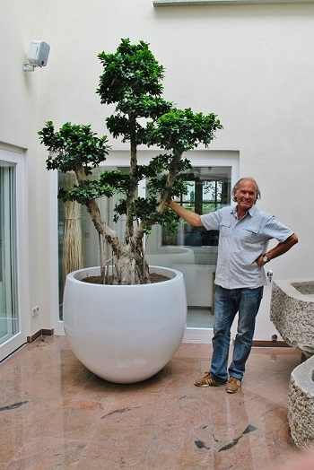 ficus microcarpa bonsai im Atrium oder Lichthof gepflanzt