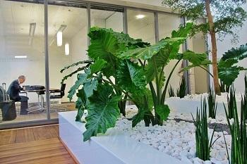 Atriumbegruenung Muenchen mit Pflanzenbecken und Bucidabaum im Lichthof oder Innenhof