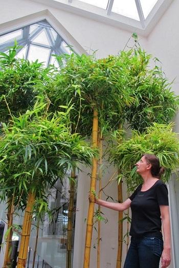tropischer Bambus im Atrium oder Lichthof - privater Innenhof