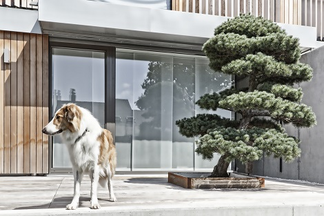pinus bonsai solitaer in bern schweiz