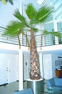 innenraumbegrünung mit washingtonia palme in edelstahlgefäß