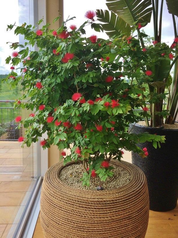 Wintergartenpflanzen bluehend kaufen Calliandra Wintergartenbegruenung