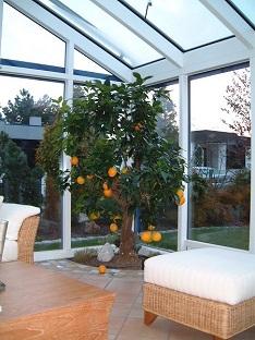 innenraumbegruenung_wintergarten_orangenbaum_kaufen