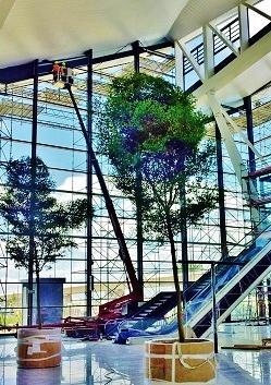 Arbres Bucida tropicaux dans aeroport