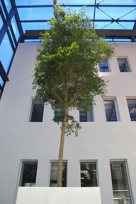 bucida-tropical-arbre-avec-planteur-acheter-en-ligne